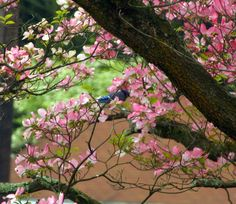 Blue Jay in blooming Dogwood tree