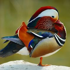 This is a Mandarin Duck, which I just saw for the first time in Jan. A pretty rare thing to see, and these colors are accurate, believe it or not (I didn't take this photo. Pretty Birds, Love Birds, Beautiful Birds, Animals Beautiful, Canard Mandarin, Mandarin Duck, Animals And Pets, Baby Animals, Cute Animals
