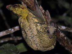 Cynocephalus variegatus (letucha malajská, Cynocephalidae)