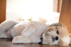 Sleepy Shih Tzu - Take a nap (-_-)zzz by momotaropekky, via Flickr
