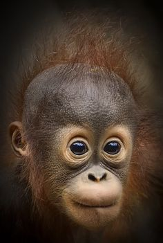 Orangutan Baby by Michael Rehbein on Angry Animals, Cute Baby Animals, Animals And Pets, Funny Animals, Monkey Pictures, Animal Pictures, Primates, Cute Photography, Animal Photography