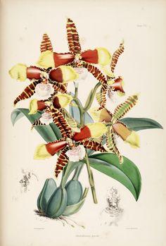 Odontoglossum grande. A monograph of Odontoglossum  London :L. Reeve & co.,1874  Biodiversitylibrary. Biodivlibrary. BHL. Biodiversity Heritage Library