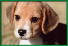 Puppies/ヤンキーボーイビーグル子犬たちの可愛い写真