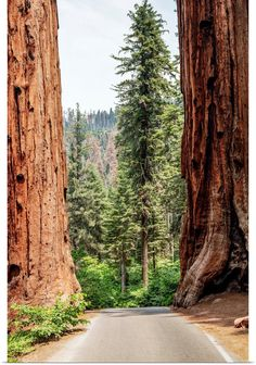 A Road Splits Two Giant Sequoias In Sequoia National Park, California Wall Art, Canvas Prints, Framed Prints, Wall Peels Sequoia National Park Camping, Yosemite National Park, Big Canvas, Canvas Prints, Framed Prints, Giant Sequoia Trees, Park Pictures, Old Trees, Us National Parks