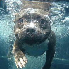 Pitbull puppies fool