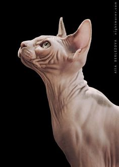 Cute Hairless Cat, Animals And Pets, Cute Animals, Sphinx Cat, Cat Photography, Domestic Cat, Cat Pose, Cat Breeds, Cool Cats