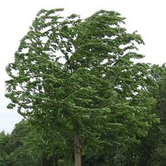 Image result for windy weather trees