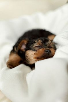 Yorkshire Terrier in Dreamland