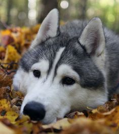 I share with you beautiful siberian husky in this photo gallery. Siberian husky my favorite type of dog. Let's talk a little siberian husky features. Le Husky, Husky Puppy, Animals Images, Animal Pictures, Cute Animals, Dog Pictures, Funny Pictures, Malamute Dog, Alaskan Malamute