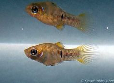 Phalloceros_caudimaculatus_1.jpg (22kb)