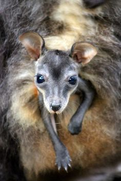 Two tiny Brush-tailed Rock-Wallaby joeys have emerged from their mother's pouches at Taronga Zoo, continuing its successful breeding program for the endangered species.