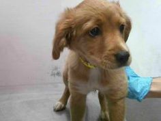 Pet Adoption has dogs, puppies, cats, and kittens for adoption. Adopt a pet Golden Retriever Mix, Golden Retrievers, Downey California, Rescue Puppies, Pet Adoption, Pets, Animals, Animales, Animaux