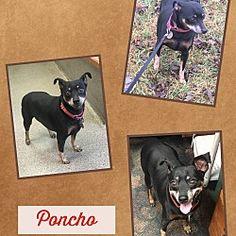 Fort Wayne, Indiana - Miniature Pinscher. Meet Poncho, a for adoption. https://www.adoptapet.com/pet/20661422-fort-wayne-indiana-miniature-pinscher