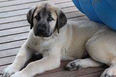 Anatolian Shepherd Pup