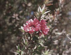"""Leptospermum scoparium."" From David Zyla's own Pinterest board for the Elegant Bohemian."