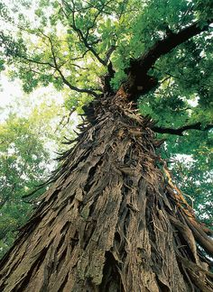 americanforests.org 2011 National Champion Shellbark Hickory by AmericanForests, via Flickr