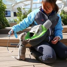 Too young to join the adults in the aquarium's otter exhibit, Haku acts as an ambassador, greeting visitors along with her handler. | 7 Pictures Of Haku, Tokyo's Newest CelebrityOtter