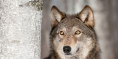 On October 6th, a hunter shot an endangered gray wolf Please sign the petition