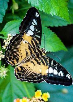butterflies.quenalbertini: Pretty butterfly