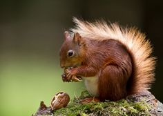 Female Red Squirrel with Walnut