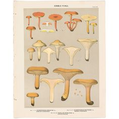 Charles Peck antique 1895 botany print of mushroom, fungi, Pl 28 Hygrophorus #Vintage
