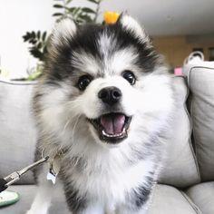 Perro Pomsky, Pomeranian Husky, Pomeranian Puppy For Sale, Pomsky Puppies, Pomsky For Sale, Labradoodle Puppies, Pomeranians, Cute Dogs And Puppies, Pets