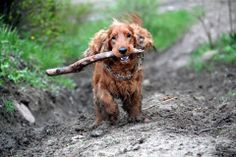 My Cocker Spaniel is always bringing home sticks and getting muddy.