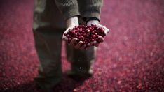 An employee of the Ocean Spray company holds cranberries as he stands in a pool of some 2000 pounds (907 kg) of floating cranberries at a promotional cranberry bog display set up at New York's Rockefeller Center, October 17, 2014. The exhibit in the heavily trafficked area of midtown Manhattan has cranberry farmers and scientists from the company on hand to answer questions about their cranberry products' health benefits and the growing process. REUTERS/Mike Segar (UNITED STATES - Tags…
