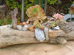 Driftwood planter with decorative rocks and shells adhered onto the wood. Succulents are planted into the carved area of the wood.