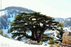 Barouk Cedars, Lebanon. Wow, such a beautiful photo!