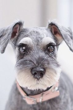 Schnauzer Grooming, Mini Schnauzer Puppies, Miniature Schnauzer, Standard Schnauzer, Rottweiler Puppies, Beagle Dog, Baby Dogs, Dogs And Puppies, Chihuahua Love
