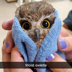 A moist owlette. Cute animal pictures every day. Owl in a blanket. Funny Birds, Cute Funny Animals, Cute Baby Animals, Animals And Pets, Funny Owls, Fluffy Animals, Beautiful Owl, Animals Beautiful, Most Famous Memes