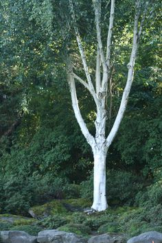 Jacquemontii Birch: Great branching
