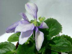 "Jimmy""s Orchid Fusion -(Dates) Wasp blossoms of lavender over light green bustled foliage. Лавандовые осы над светло-зеленой турнюрной листвой. Полумини."