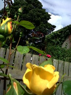 close up perfumed yellow rose, back garden