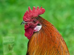 Pictures Images, Free Pictures, Free Photos, Animal Pictures, Types Of Roosters, Fondation Brigitte Bardot, Free To Use Images, Dream Interpretation, Galo