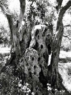 #sicily #olive