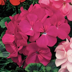 Big Violet Blooms and Zoned Foliage--Geranium Orbit Violet is Attractive from Tip to Base!