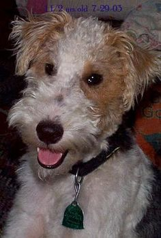 """Wire Hair Fox Terrier...Always Smiling...""""I'm cute and I know it!!"""""""