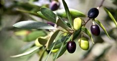 Did you know you can grow ornamental olive trees in the landscape? Growing olive trees is relatively simple given the proper location and olive tree care is not too demanding either. Find out more in this article. Growing Olive Trees, Growing Tree, How To Grow Olives, Olive Tree Care, Olive Plant, Greek Olives, Olive Fruit, Tree Leaves, Belleza Natural