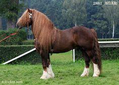 Czechomoravian Belgian Draught stallion Agar