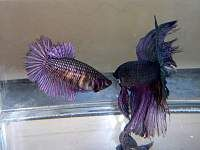 Fun and friendly aquarium fish forum for freshwater and saltwater fish tank hobbyists Breeding Betta Fish, Saltwater Fish Tanks, Pet Fish, Garden Terrarium, Aquarium Fish, Pets, Step Guide, Purple, Animals