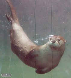 Image result for otters underwater