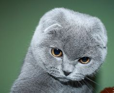Scottish Fold | Scottish Fold kittens available Montreal I NNNNNNEEEEEEEEEEEEEEDDDDDDD DIS