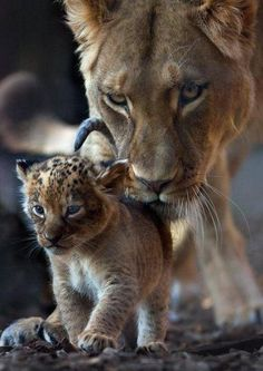 Lioness helping her cub with its first steps
