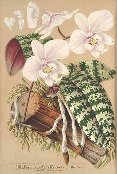 37093 Phalaenopsis schilleriana Rchb.f. / L' Illustration horticole, vol. 10: t. 348 (1863) [P. Stroobant]