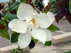 Magnolia trees are another Southern staple, they are everywhere
