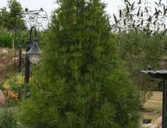rare schlank-aufrecht wachsende seltene Sorte Zypressen-Rotfichte