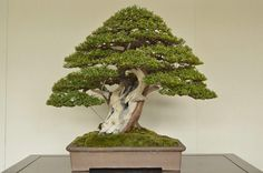 I'm not usually a Taxus fan, but this is pretty cool.