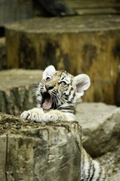Tiger cub ~~~ How sweet